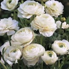 Ранункулус бял LSCH - Ranunculus white LSCH