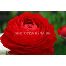 Ранункулус червен LSCH - Ranunculus red LSCH