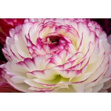 Ранункулус розово-бял