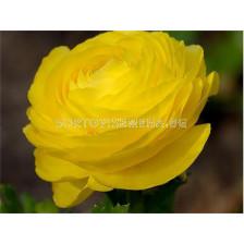 Ранункулус жълт LSCH - Ranunculus yellow LSCH