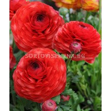 Ранункулус Червен - Ranunculus red