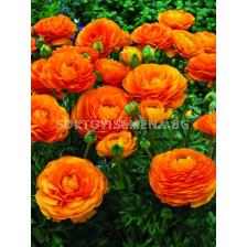 Ранункулус Оранжев - Ranunculus orange