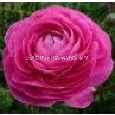 Ранункулус розов