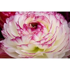 Ранункулус розово-бял - Ranunculus pink-white