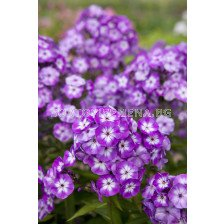 Флокс - Phlox Paniculata Uspech - 1 бр