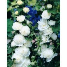 Ружа бяла - Alcea rosea white