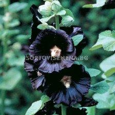 Ружа черна - Alcea rosea black