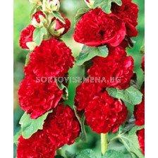 Ружа червена -  Alcea rosea red