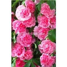 Ружа розова - Alcea rosea pink