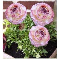Ранункулус Picotte pink & white