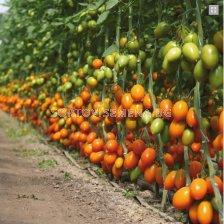 Жълто домати KS 1430