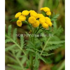 Вратига (Tanacetum vulgare) 1кг