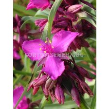 Tradescantia red grape - 1бр