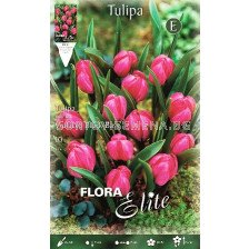 Tulip Violacae Black Base