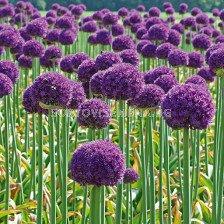 Декоративен лук Goliath / Allium altissimum Goliath / 1 бр