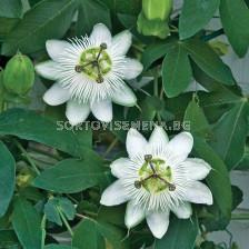 Пасифлора бяла - Passiflora hibride white