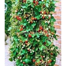 ягоди Raosta (увивни, целогодишни) - strawberry Raosta