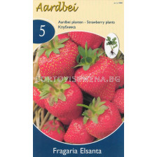 ягоди Elsantha - strawberry Elsantha