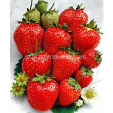 Ягоди (Strawberry) Ostara (целогодишни)