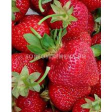 ягоди (Strawberry) Zenga Zengana