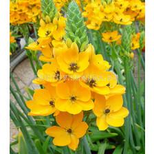 Гарвански лук жълт /Ornithogalum dubium yellow/ 1 бр