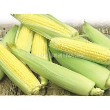 захарна царевица Ерика F1