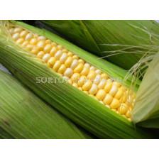 Сорт захарна царевица Хани бантам F1. Аграра ООД.