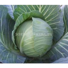Семена Зеле Зелена Перла F1 - Cabbage Green Pearl F1