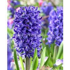 Зюмбюл Blue Jacked - Hyacinth Blue Jacked