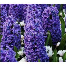 Зюмбюл Delft's Blue (засаден) - Hyacinth Delft's Blue (planted)