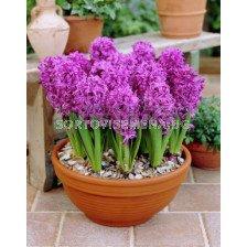 Зюмбюл (Hyacinth) Splendid Cornelia (засаден)