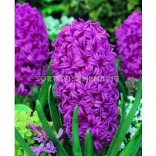 Зюмбюл Amethyst - Hyacinth Amethyst