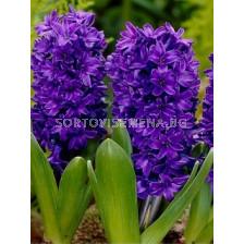 Зюмбюл (Hyacinth) Peter Stuyvesant