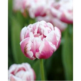 Лале (Tulip) Double Early Melrose