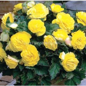 Бегония (Begonia) Double Yellow 5/6