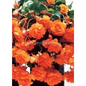 Бегония (Begonia) Pendula Orange 5/6
