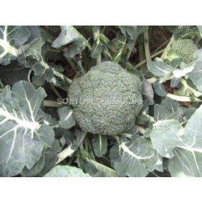Броколи TRI - 9055 F1 - Broccoli TRI - 9055 F1