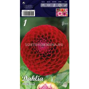 Далия Ball Red - Dahlia Ball Red