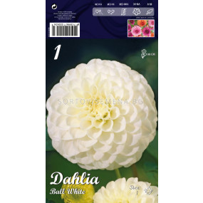 Далия Ball White - Dahlia Ball White