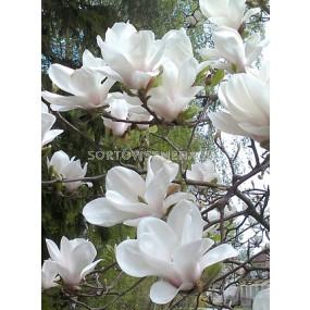 Магнолия (Magnolia X Soulangeana Alba Superba)– бяла