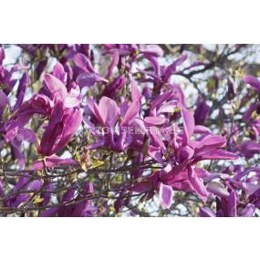 Магнолия (Magnolia Susan)– розово-пурпурна