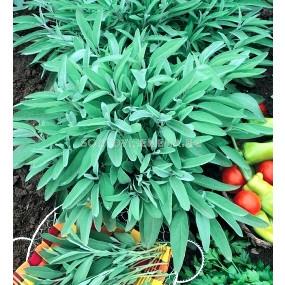 Семена Салвия (Salvia) градински чай`SG