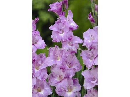 гладиол (Gladiolus) Her Majesty