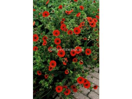 Очиболец / Potentilla Gibson's Scarlet / 1 бр
