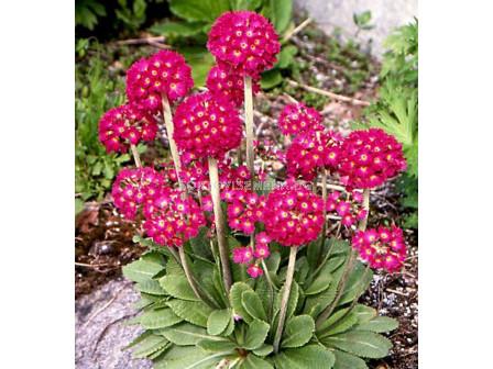 Примула Рубин / Primula Denticulata Rubin / 1 бр