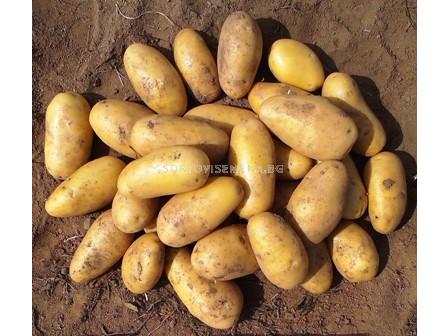 семе картофи Луизана - 5кг