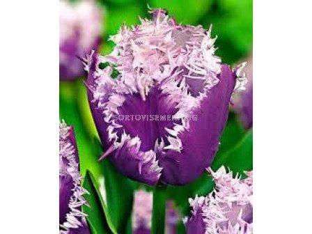 Лале (Tulip) Fringed Cummins 11/12