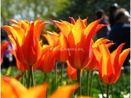 лале Lilyflowering Ballerina 11/12 - tulip Lilyflowering Ballerina 11/12