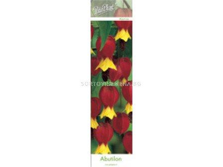абутилон Жълто-червен (Chinese Lantern) - Abutilon yellow-red (Chinese Lantern)