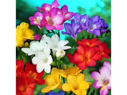 Фрезии - микс 50  бр - Freesia - mix 50 pieces